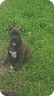 Boxer/American Staffordshire Terrier Mix Puppy for adoption in Los Banos, California - Jade