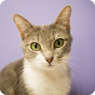 Domestic Shorthair Cat for adoption in Houston, Texas - Turkey