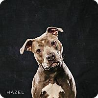 Adopt A Pet :: Hazel - Vancouver, BC