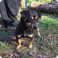 Adopt A Pet :: Dora - Washington, DC