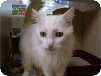 Domestic Longhair Cat for adoption in No.Charleston, South Carolina - Shaba