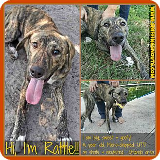 Hound (Unknown Type)/Labrador Retriever Mix Dog for adoption in Orlando, Florida - Rattle