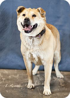 Chow Chow/Golden Retriever Mix Dog for adoption in Westminster, Colorado - Goldie