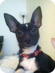 Chihuahua Mix Puppy for adoption in Mesa, Arizona - Harry