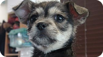 Chihuahua/Terrier (Unknown Type, Small) Mix Puppy for adoption in Grass Valley, California - Charlie