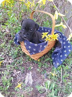 American Pit Bull Terrier Mix Puppy for adoption in Roaring Spring, Pennsylvania - Male # 7