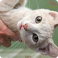 Adopt A Pet :: Dune - St Louis, MO