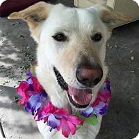 Adopt A Pet :: Lucas - Canoga Park, CA