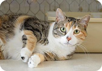Domestic Shorthair Cat for adoption in Midland, Texas - Erra