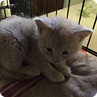 Adopt A Pet :: Calvin - Forest Hills, NY