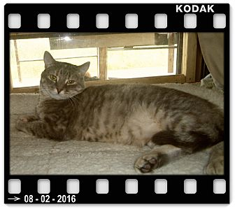 American Shorthair Kitten for adoption in Medford, Wisconsin - DELILAH