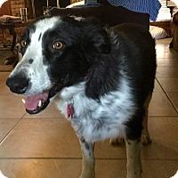 Adopt A Pet :: Missy - Allen, TX