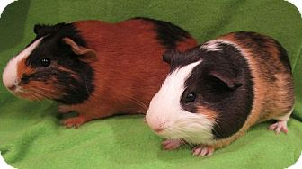 Guinea Pig for adoption in Steger, Illinois - Pickachu Jr