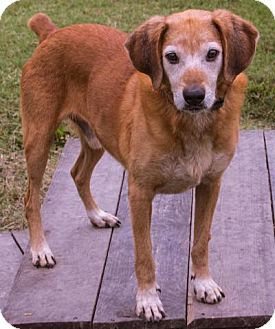 Labrador Retriever Mix Dog for adoption in Fairfax, Virginia - Edward