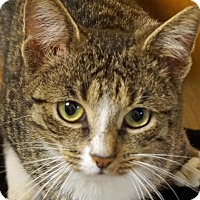 Domestic Shorthair Cat for adoption in Sprakers, New York - Wesley