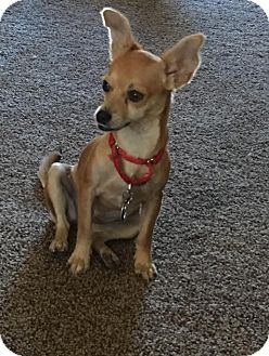 Chihuahua/Jack Russell Terrier Mix Dog for adoption in Denver, Colorado - Mindy