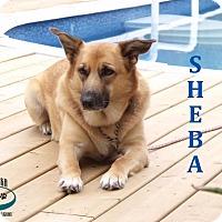 Adopt A Pet :: Sheba - Loving Girl! - Huntsville, ON