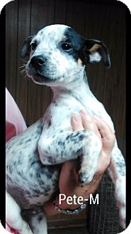 Boxer Mix Puppy for adoption in Hagerstown, Maryland - Pete