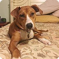 Adopt A Pet :: Chestnut - Chattanooga, TN