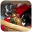 Photo 3 - Domestic Shorthair Kitten for adoption in Little Neck, New York - home 4 xmas