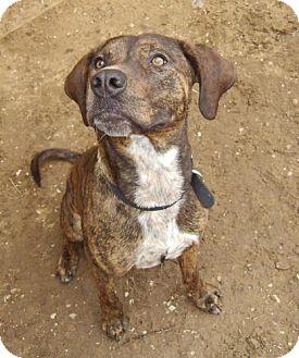 Coonhound Pitbull Mix