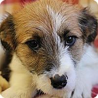 Adopt A Pet :: Korra - Roosevelt, UT