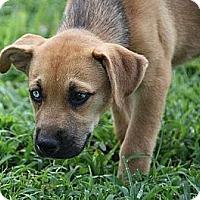 Adopt A Pet :: Houndini - Staunton, VA