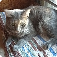 Domestic Shorthair Cat for adoption in Schertz, Texas - Aurora aka Hope HL
