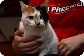 Calico Cat for adoption in Pittsburgh, Pennsylvania - Paige