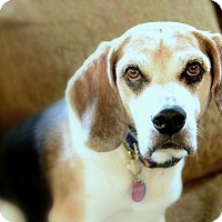 Beagle Mix Dog for adoption in Waldorf, Maryland - Hopper Hughes
