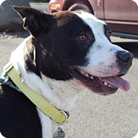 Basenji/American Pit Bull Terrier Mix Dog for adoption in The Dalles, Oregon - Dynamite