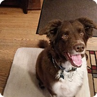 Adopt A Pet :: Rambo - Schaumburg, IL