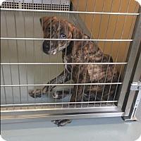 Adopt A Pet :: Melissa - St. Charles, MO