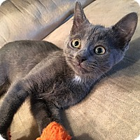 Adopt A Pet :: Persephone - Mount Laurel, NJ