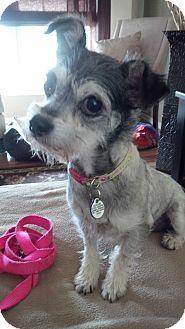 Yorkie, Yorkshire Terrier/Chihuahua Mix Dog for adoption in Honeoye Falls, New York - Sophia