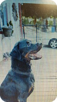 Rottweiler Mix Dog for adoption in Yelm, Washington - Chanel