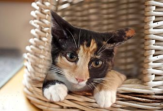 Calico Kitten for adoption in Wayne, New Jersey - Argentina