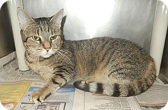 Domestic Shorthair Cat for adoption in Newport, North Carolina - Leisal