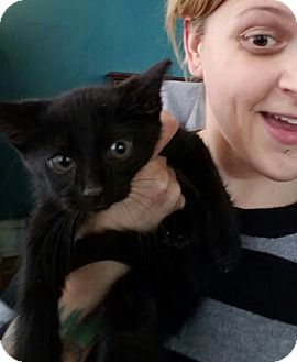 Domestic Shorthair Kitten for adoption in Chicago, Illinois - Bolt