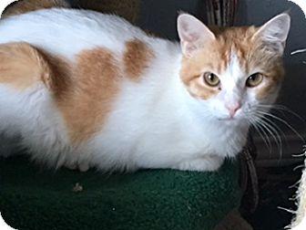 Turkish Van Cat for adoption in Houston, Texas - Artemis