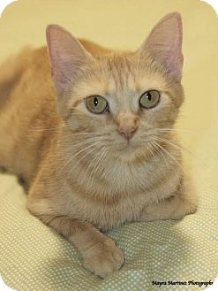Domestic Shorthair Cat for adoption in Homewood, Alabama - Prairie Dawn