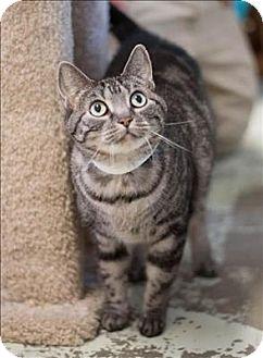Domestic Shorthair Cat for adoption in Huntsville, Alabama - Venus