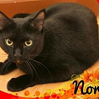 Domestic Shorthair Cat for adoption in Springfield, Oregon - Nora