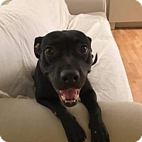 Labrador Retriever Mix Dog for adoption in Whitestone, New York - Jacqueline