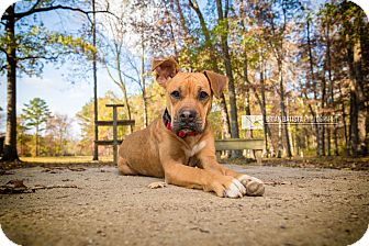 Boxer Mix Dog for adoption in Gadsden, Alabama - Virginia