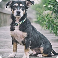 Adopt A Pet :: Winston - Webster, TX