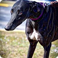 Adopt A Pet :: Titan - Sarasota, FL
