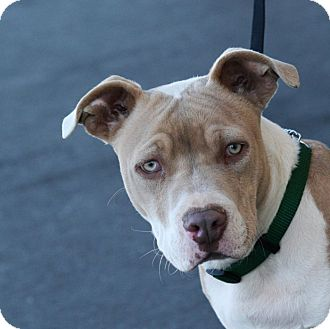Palmdale, CA - Pit Bull Terrier Mix. Meet Banjo a Puppy ...