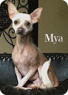 Mexican Hairless Dog for adoption in Abilene, Texas - Mya