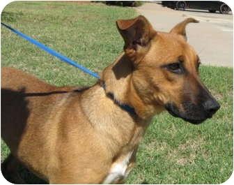 Belgian Malinois/Australian Cattle Dog Mix Dog for adoption in ...